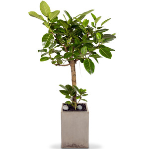 뱅갈고무나무(특)