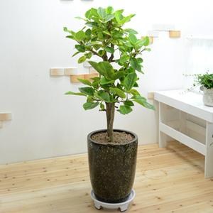 고급스런 <뱅갈고무나무>120cm