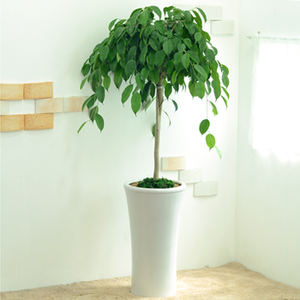 벤자민나무 (상품)